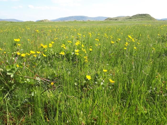 5b.Marsh marigolds